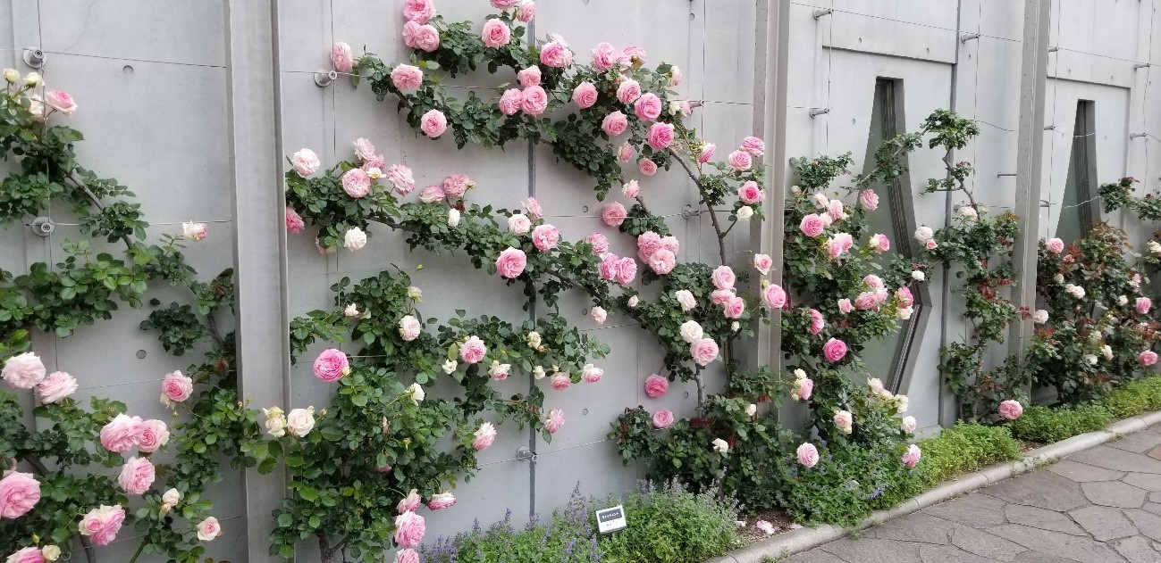 【GWに見頃!】密を避けてちょっと楽しむ横浜の薔薇スポットTOP3